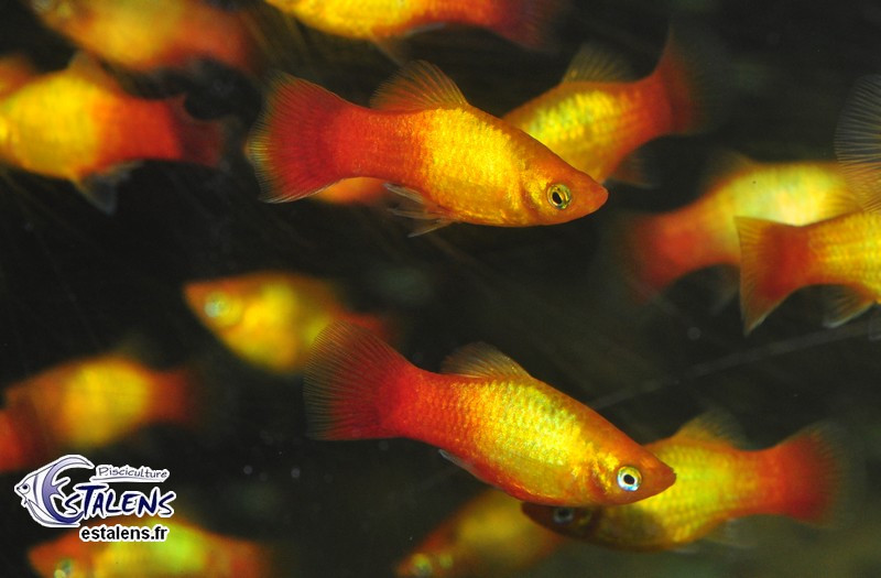 Platy Sunset Glowlight  3-3.5