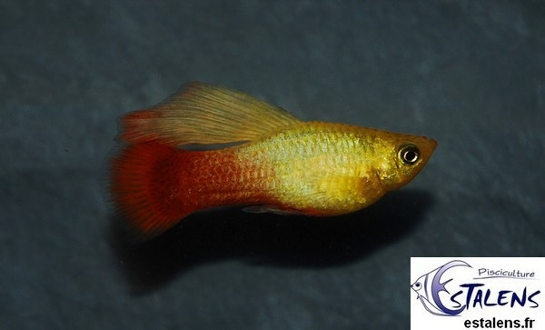 Platy Variatus Gold Voile 3.5-4