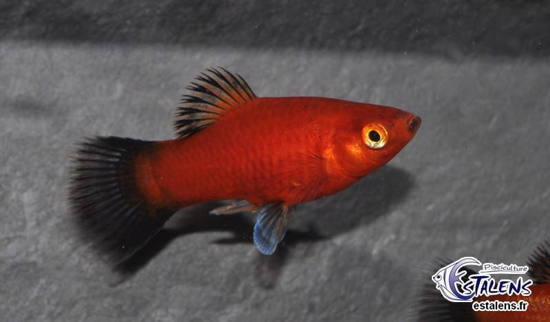 Platy Wagtail Rouge  3.5-4