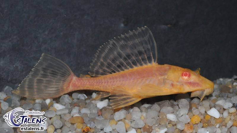 Pterygoplichthys gibbiceps Orange  5-6