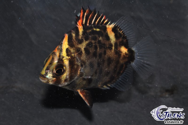 Scatophagus argus Rouge  9-11