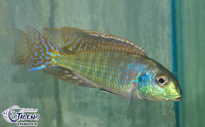 Tramitichromis sp. Red Flush Lundo 13-15 F1 Male