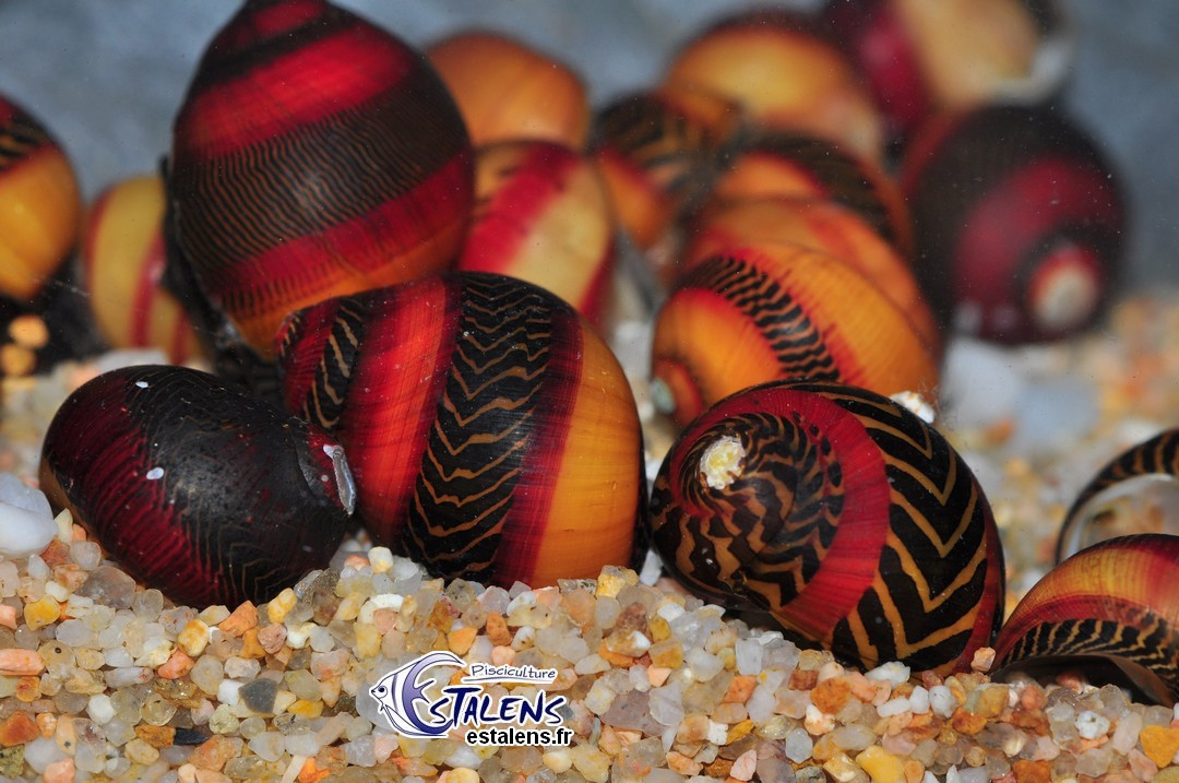 Neritina waigiensis Red Tricolor SUPER