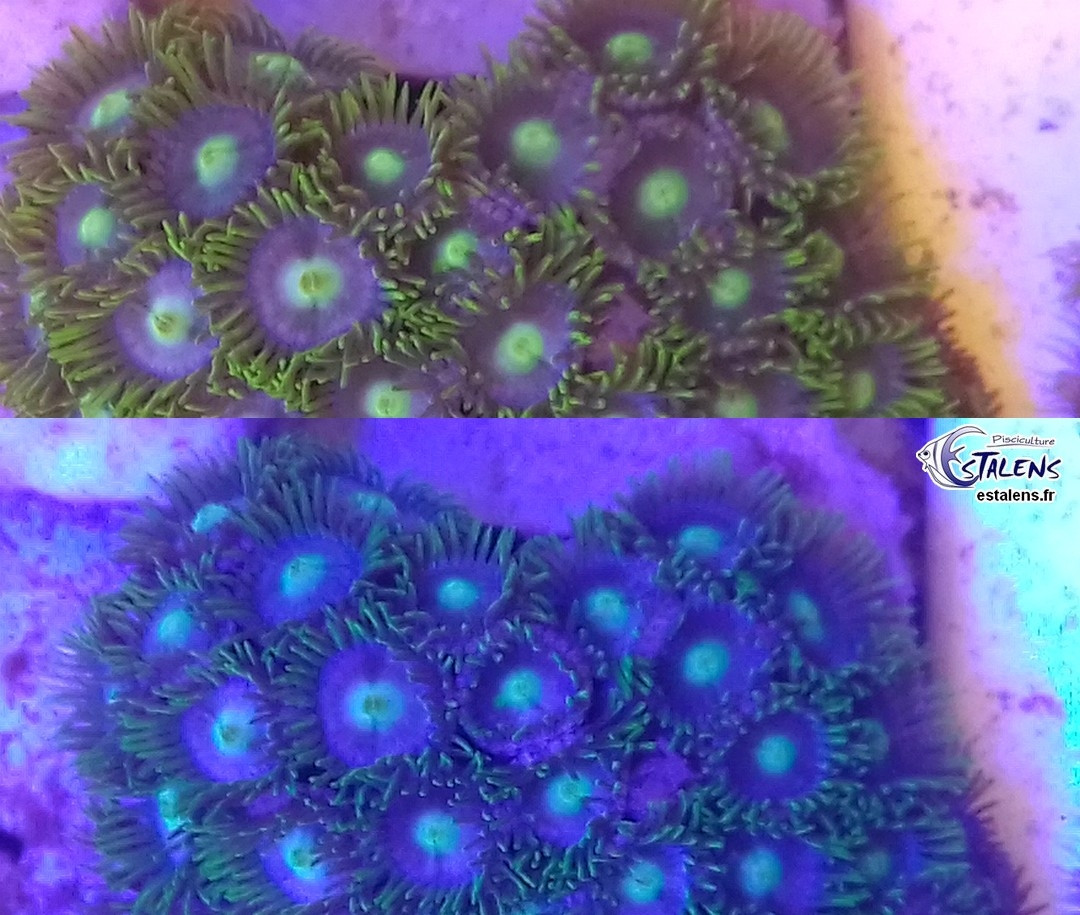 Zoanthus Green Eye Frag 10-15 polypes