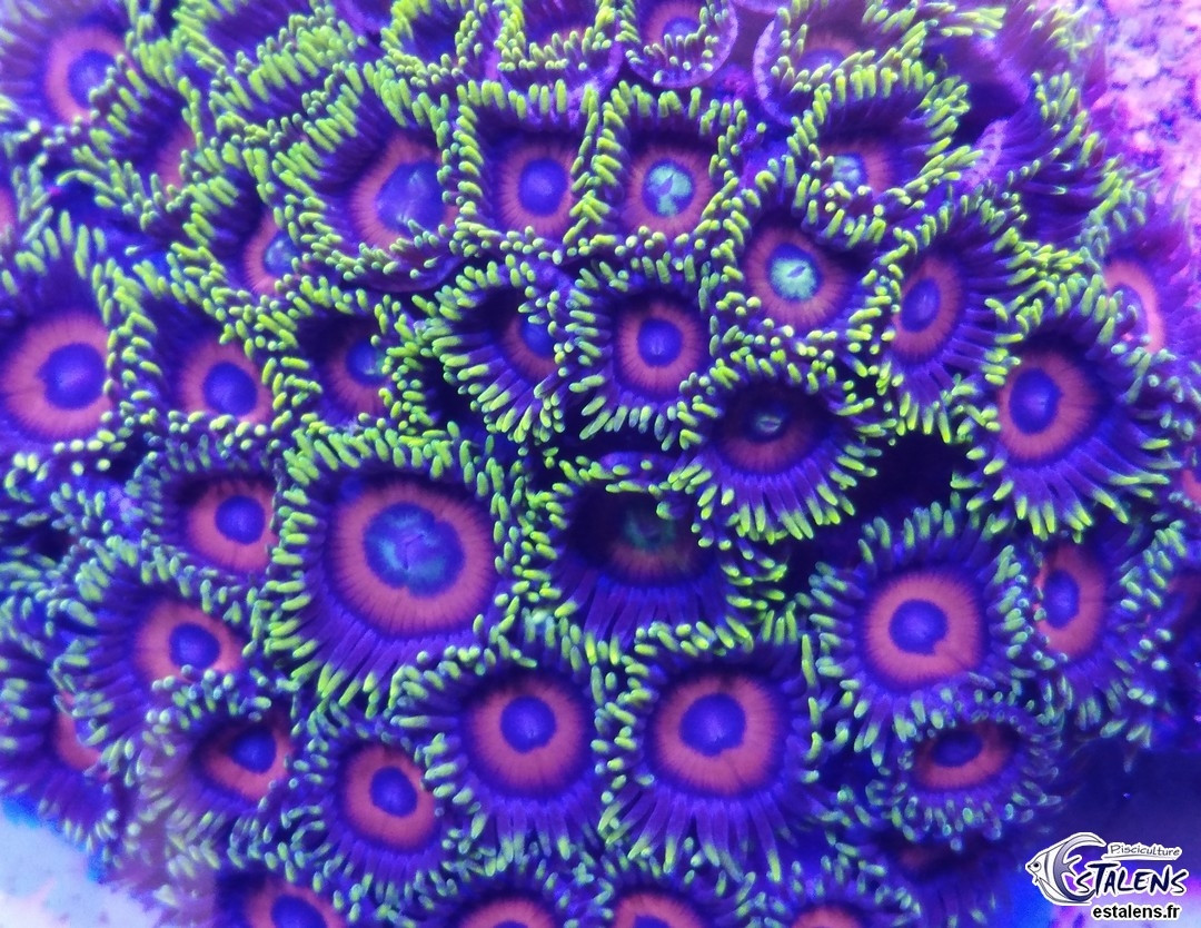 Zoanthus Watermelon Frag SUPER