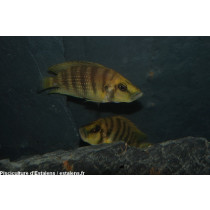 Altolamprologus compressiceps Gold 4-5