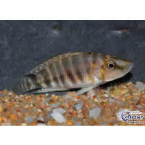 Altolamprologus compressiceps Kigoma Orange 4-5