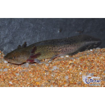 Ambystoma mexicanum Green  7-9 (Axolotl)