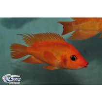 Amphilophus labiatus Orange 20-25 (Estalens)