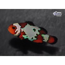 Amphiprion ocellaris Bullet Hole  4-5