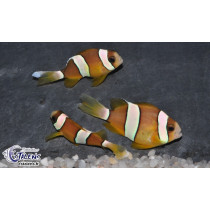 Amphiprion clarkii Philippines 4-6