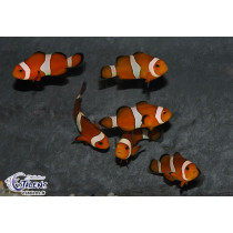 Amphiprion ocellaris  2.5-3 (el)