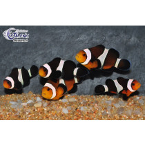 Amphiprion ocellaris Moka 3-4 (France)