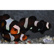 Amphiprion ocellaris Black Darwini  4-5 (el)