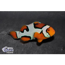 Amphiprion percula Picasso 3.5-4.5 (France)