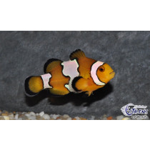 Amphiprion oce. Snow Onyx  3-4