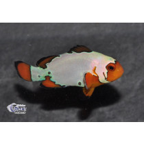 Amphiprion ocellaris Super Snow Flake  3-4 (el)
