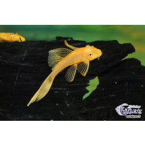 Ancistrus sp. Orange L144 Voile 4-5