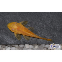 Ancistrus sp. Orange  6-7