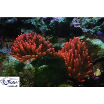 Entacmaea quadricolor Base Rouge (Bulle)  M