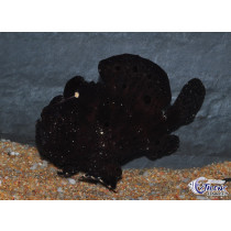 Antennarius pictus Black XL 10-15