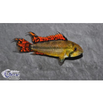 Apistogramma cacatuoides Double red 3-4