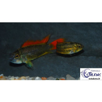 Apistogramma cacatuoides Orange 3-4