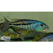 Aristochromis christyi  9-11