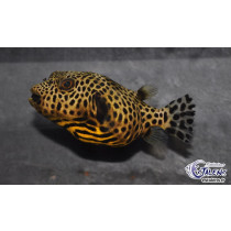 Arothron stellatus Yellow 25cm SHOW