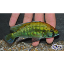 Astatotilapia calliptera  7-9 F4 Thumbi Est (Estal