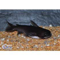 Asterophysus batrachus  7-9 (Gulper catfish)