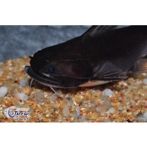 Asterophysus batrachus 9-11(Gulper catfish)