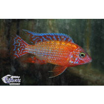 Aulonocara Fire Fish  7-9 (Estalens)