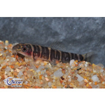 Barbucca diabolica  4-5 (Fire Eye Loach)