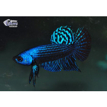 Betta Alien Blue 4-5 NOUVEAU