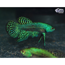 Betta Alien Green 4-5 NOUVEAU