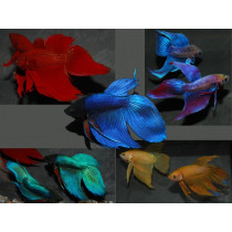 Betta splendens  Male Assort.  5-6