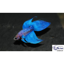 Betta splendens Bicolor  4-5