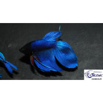 Betta splendens Bleu  5-6