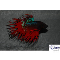 Betta Crown Tail Assort. 3.5-4