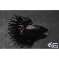 Betta Crown Tail Black Melano 5-6