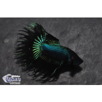 Betta Crown Tail Black Orchid  5-6