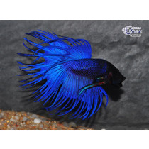 Betta Crown Tail Bleu  5-6