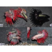 Betta Crown Tail Copper Assort. 5-6