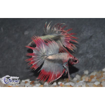 Betta Crown Tail Copper Marble Red Fin  5-6
