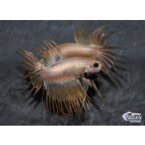 Betta Crown Tail Gold 5-6