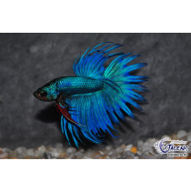 Betta Crown Tail Green Mask  5-6