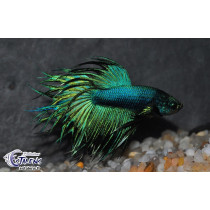 Betta Crown Tail Vert  5-6