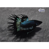 Betta Crown Tail King Black Orchid  5-6