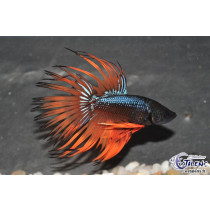 Betta Crown Tail Mustard 5-6